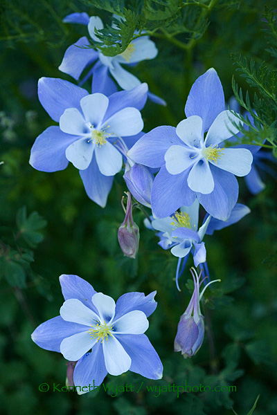 kenneth wyatt photography  blue  columbine, flower, wildflower, Beautiful flower